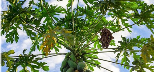 benefits of papaya leaf juice