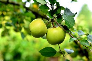 Green Apple Benefits for Skin