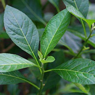 Bitter Leaf benefits for health