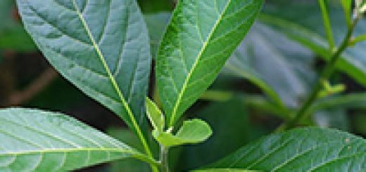 Bitter Leaf benefits for health