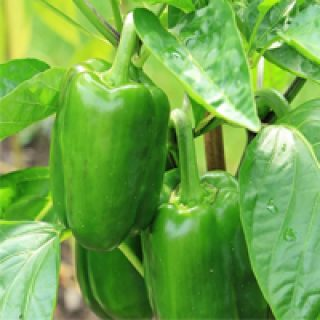 Green Pepper Health Benefits