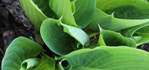 health benefits of plantain leaves