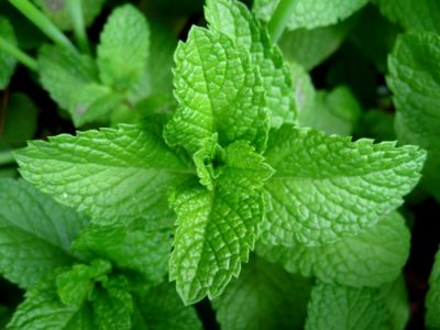 how to prepare scent leaf for weight loss